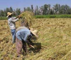 پخش و فروش برنج شمال کشور (برنج منطقه دابودشت)